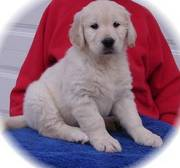 So cute! Family raised Golden Retreiver Puppies