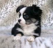 sweet adorable chihuahua puppy for happy homes