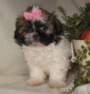 Ready to go shih tzu beautiful puppies