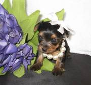 Sensitive gorgeous yorkshire terrier babies for rehoming