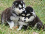 wonderful Malamute Puppies For Good Homes