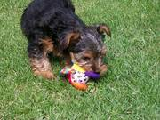 Pretty X-mass Yorkie Girl Tina puppy for a new homes