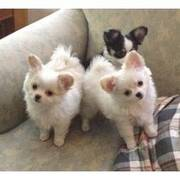 chihuahua puppies ready to go fo new home