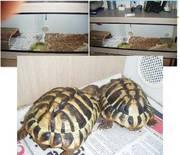 2 Hermans Tortoises And Set Up