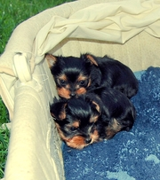 CUTE AND LOVELY TEACUP YORKIE PUPPIES FOR FREE ADOPTION